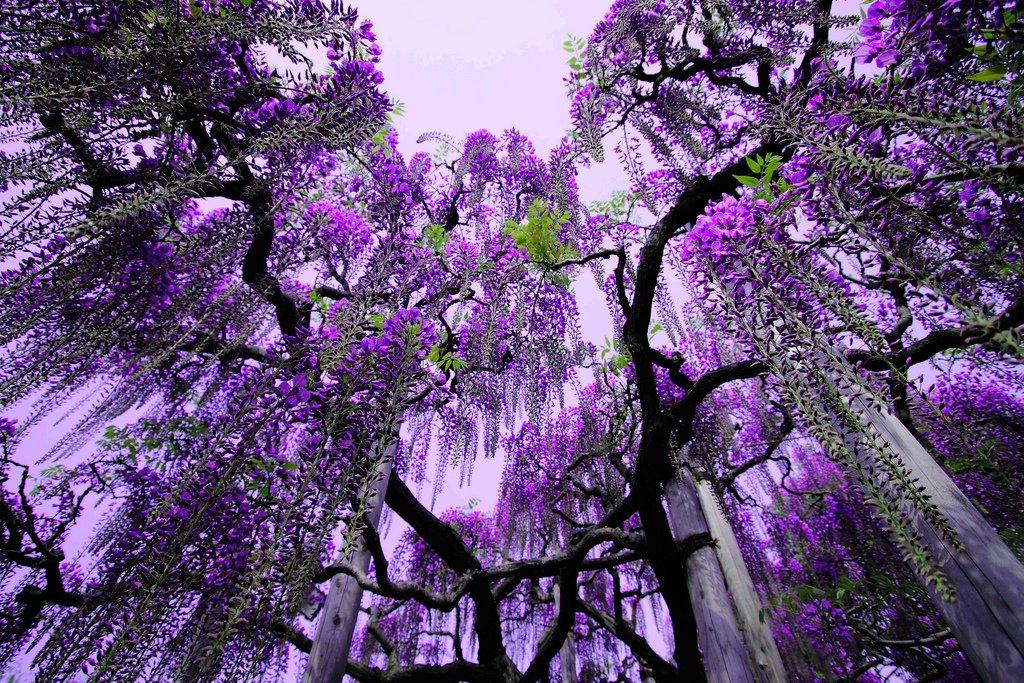 Asikaga nebesnoe.info 01 Путешествие по японскому Парку цветов Асикага.