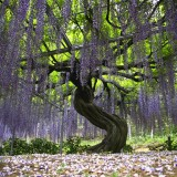 Asikaga nebesnoe.info 02 160x160 Путешествие по японскому Парку цветов Асикага.