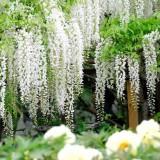 Asikaga nebesnoe.info 07 160x160 Путешествие по японскому Парку цветов Асикага.