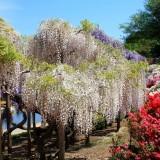 Asikaga nebesnoe.info 11 160x160 Viagens Japão Ashikaga Flower Park.