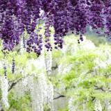 Asikaga nebesnoe.info 12 160x160 Viagens Japão Ashikaga Flower Park.