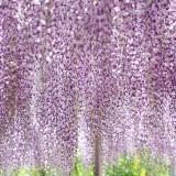 Asikaga nebesnoe.info 13 160x160 Viagens Japão Ashikaga Flower Park.