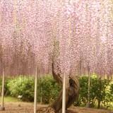 Asikaga nebesnoe.info 14 160x160 Viagens Japão Ashikaga Flower Park.