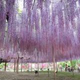 Asikaga nebesnoe.info 15 160x160 Viagens Japão Ashikaga Flower Park.