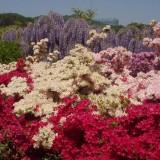 Asikaga nebesnoe.info 16 160x160 Viagens Japão Ashikaga Flower Park.