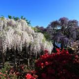 Asikaga nebesnoe.info 17 160x160 Viagens Japão Ashikaga Flower Park.