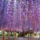 Asikaga nebesnoe.info 18 160x160 Viagens Japão Ashikaga Flower Park.
