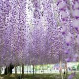 Asikaga nebesnoe.info 19 160x160 Viagens Japão Ashikaga Flower Park.
