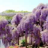 Asikaga nebesnoe.info 20 160x160 Viagens Japão Ashikaga Flower Park.