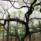 Asikaga nebesnoe.info 21 160x160 Путешествие по японскому Парку цветов Асикага.