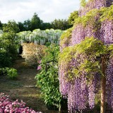 Asikaga nebesnoe.info 22 160x160 Путешествие по японскому Парку цветов Асикага.