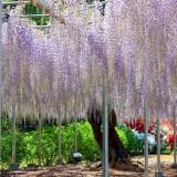 Asikaga nebesnoe.info 25 160x160 Viagens Japão Ashikaga Flower Park.