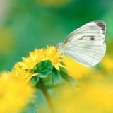 babochki nebesnoe.info 09 160x160 Бабочки