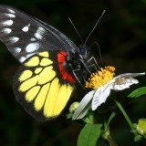 babochki nebesnoe.info 14 160x160 Бабочки
