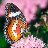 babochki nebesnoe.info 20 160x160 Бабочки