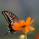 babochki nebesnoe.info 24 160x160 Бабочки