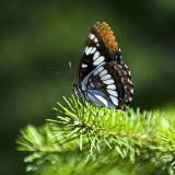 babochki nebesnoe.info 25 160x160 Бабочки