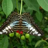 babochki nebesnoe.info 37 160x160 Бабочки