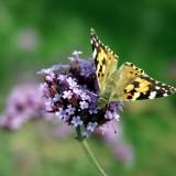 babochki nebesnoe.info 42 160x160 Бабочки