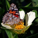 babochki nebesnoe.info 43 160x160 Бабочки