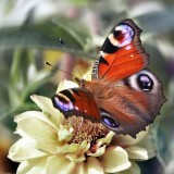 babochki nebesnoe.info 45 160x160 Бабочки