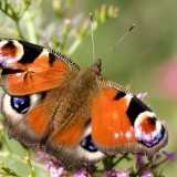 babochki nebesnoe.info 48 160x160 Бабочки
