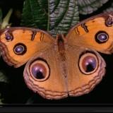 babochki nebesnoe.info 49 160x160 Бабочки