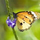 babochki nebesnoe.info 51 160x160 Бабочки
