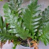 kalir kanda nebesnoe.info  160x160 Необычные растения